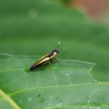 Elateridae : probablement Semiotus bilineatus CANDÈZE, 1857. Tunda Loma à Calderon (Esmeraldas), 7 décembre 2013. Photo : J.-M. Gayman