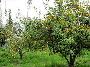 Photo: lemon trees !