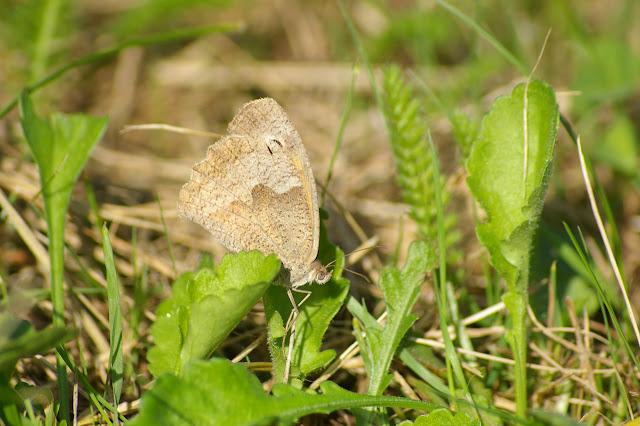 Manolia jurtina L., 1758, femelle. Les Hautes-Lisières (Rouvres, 28), 22 septembre 2011. Photo : J.-M. Gayman