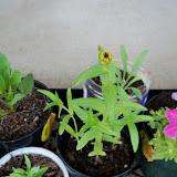 Gardening 2010, Part Two - 101_2802.JPG