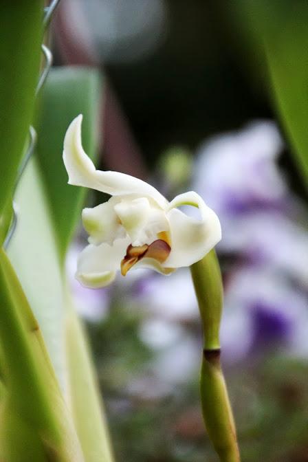 Maxillaria augustae-victoriae IMG_8363