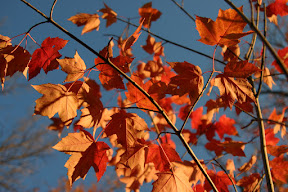 Maple leaves in the wind