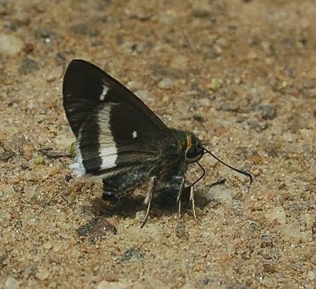 Hesperiidae : Coeliadinae : Coeliades ramanatek (BOISDUVAL, 1833), endémique.  Parc d'Andasibe-Mantadia (Madagascar), 29 décembre 2013. Photo : T. LaugierPhoto : T. Laugier