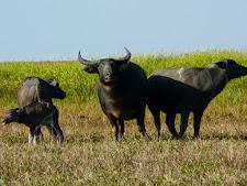 wildlife-water-buffalo-8.jpg