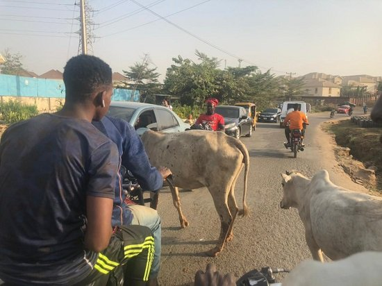 Cows Block Road In Abuja, Disrupt Vehicular Movement (pics)