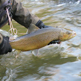 Steelhead and Lake-Run Fish