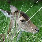 Forêt domaniale de Rambouillet : biche
