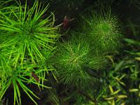 Myrophillum quitense