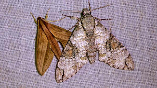 À gauche : Sphingidae : Macroglossinae : Xylophanes anubus (Cramer, 1777). À droite : Sphingidae : Sphinginae : Manduca florestan (Stoll, 1782). San Juan, près de Caranavi, 1000 m (Yungas, Bolivie), 23 décembre 2014. Photo : Jan-Flindt Christensen