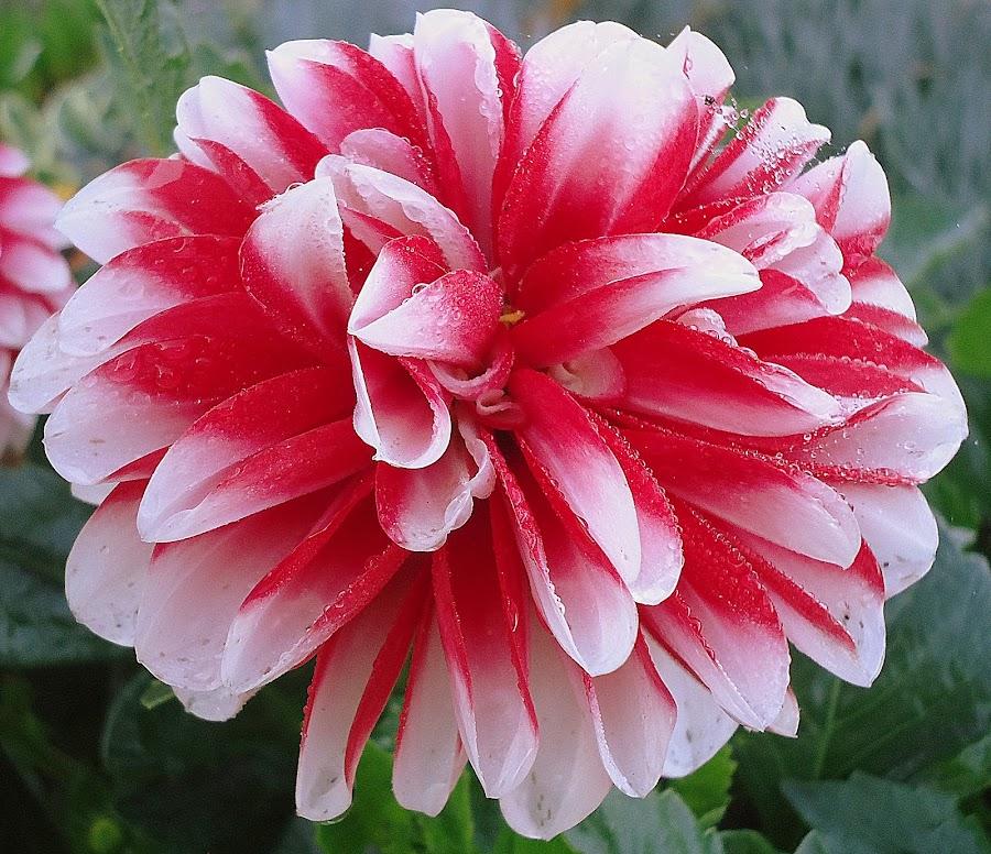 Dalia by Gordana Cajner - Flowers Flower Gardens