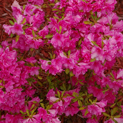 Azalaeas Blooming - 2008