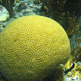 Grooved Brain Coral. Still Groovy? St Thomas Snorkeling.