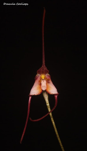 Dracula Cocliops IMG_0686b%2520%2528Medium%2529