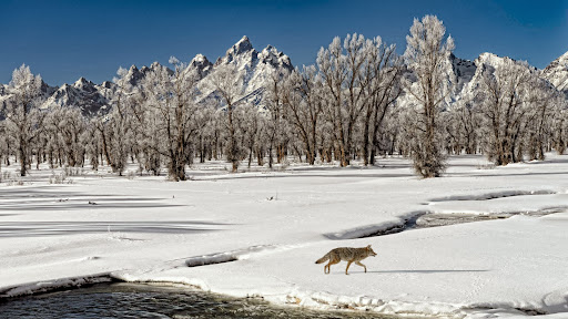 Wolf Crossing Snake River Flats, Wyoming.jpg