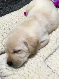 Yellow Lab puppy sleeping