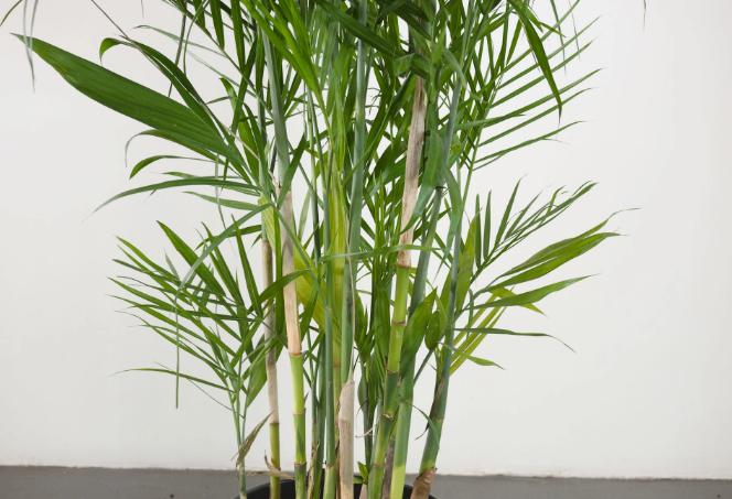 Membawa Kesejukan Alam Ke Dalam Rumah Dengan Palem Bambu
