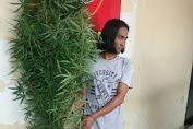 Tanam Ganja di Belakang Rumah, Pria di Medan Ditangkap Polisi