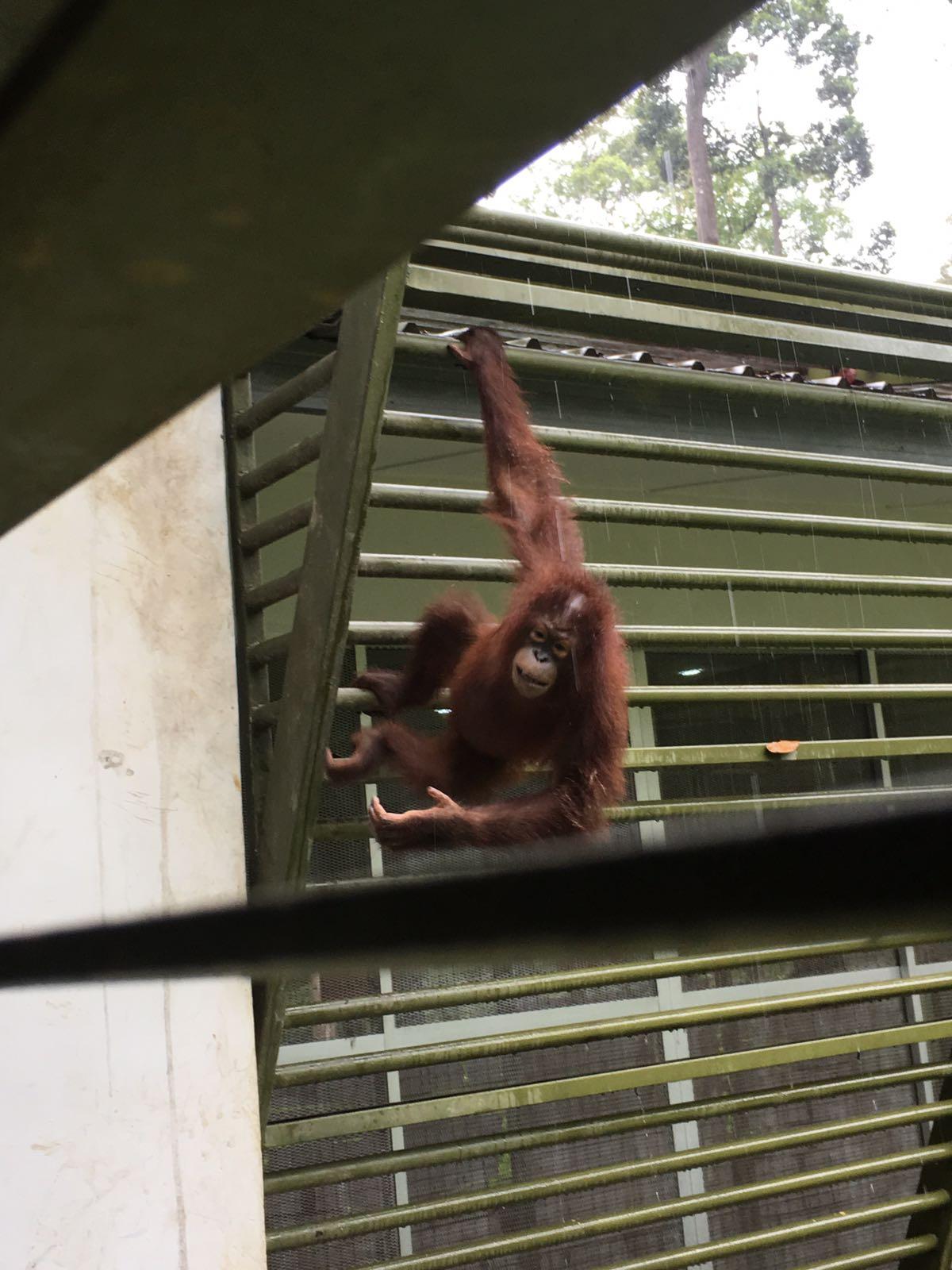 center malaysia apes borneo sabah