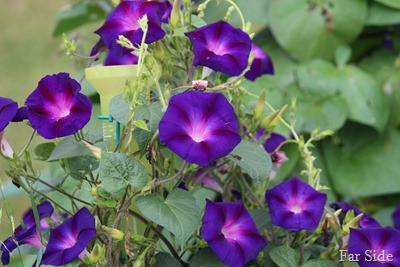 Morning Glories two
