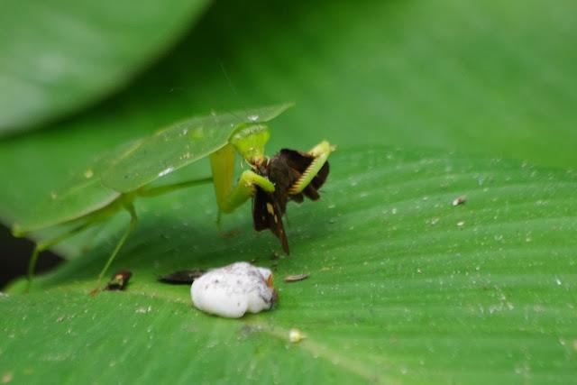 Mantidae : Choeradodis sp., probablement C. stalii WOOD-MASON, 1880, dévorant une hespérie. Tunda Loma à Calderon (San Lorenzo, Esmeraldas), 27 novembre 2013. Photo : J.-M. Gayman