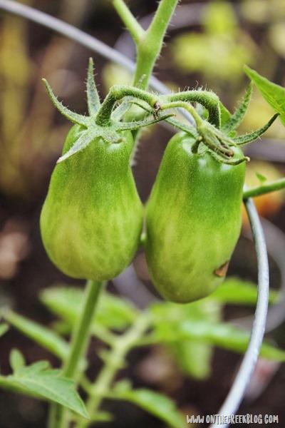 roma tomato plant