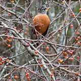 Robin-and-apples_MG_2074-copy.jpg