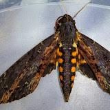 Sphingidae : Sphinginae : Neococytius cluentius (Cramer, 1776), femelle. Taipiplaya, près de Caranavi, 900 m (Yungas, Bolivie), 22 décembre 2014. Photo : Jan-Flindt Christensen