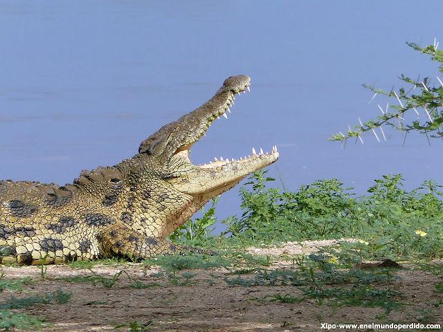 cocodrilo-erindi-namibia.JPG