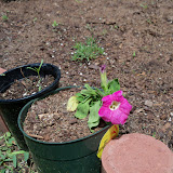 Gardening 2010 - 101_0707.JPG