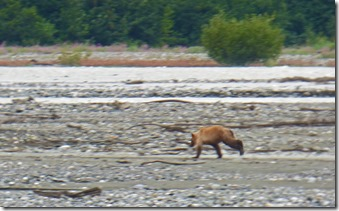 Baby Bear on Klehini River