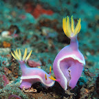 Nudibranch at 'Japanese shipwreck'