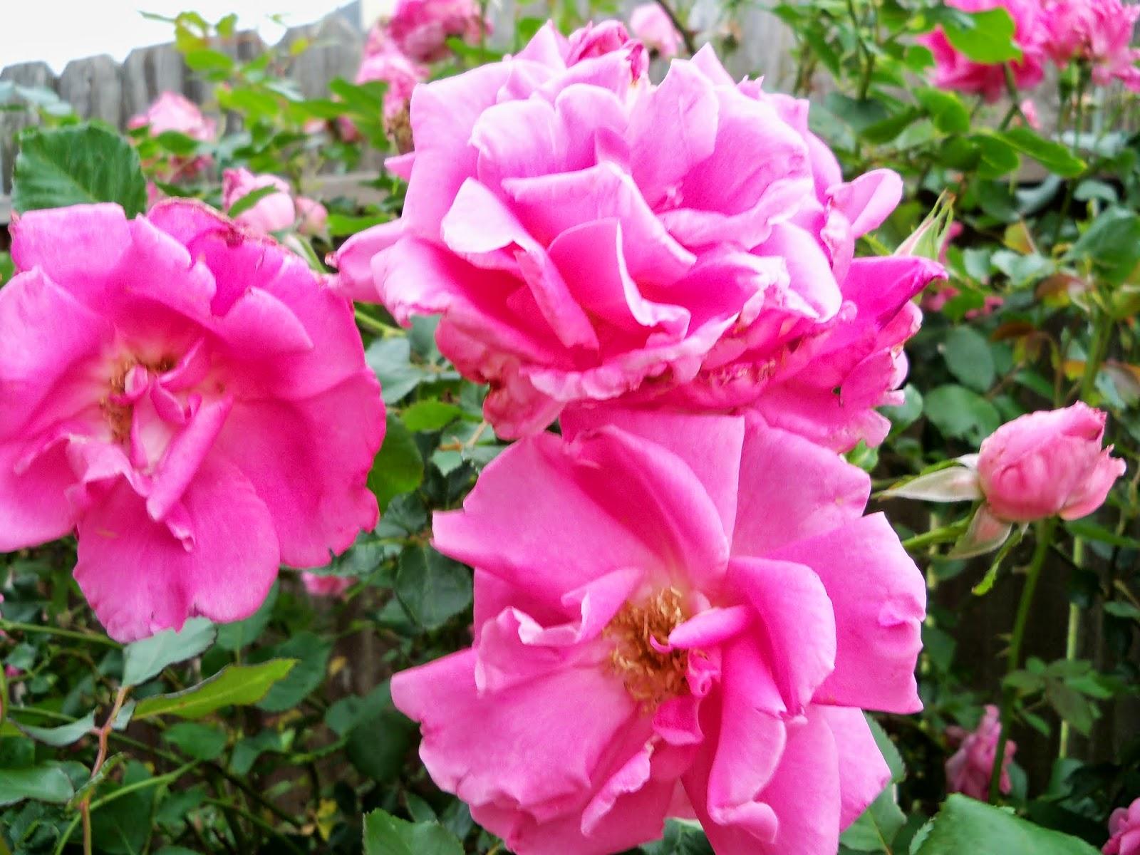 Gardening 2014 - 116_1505.JPG