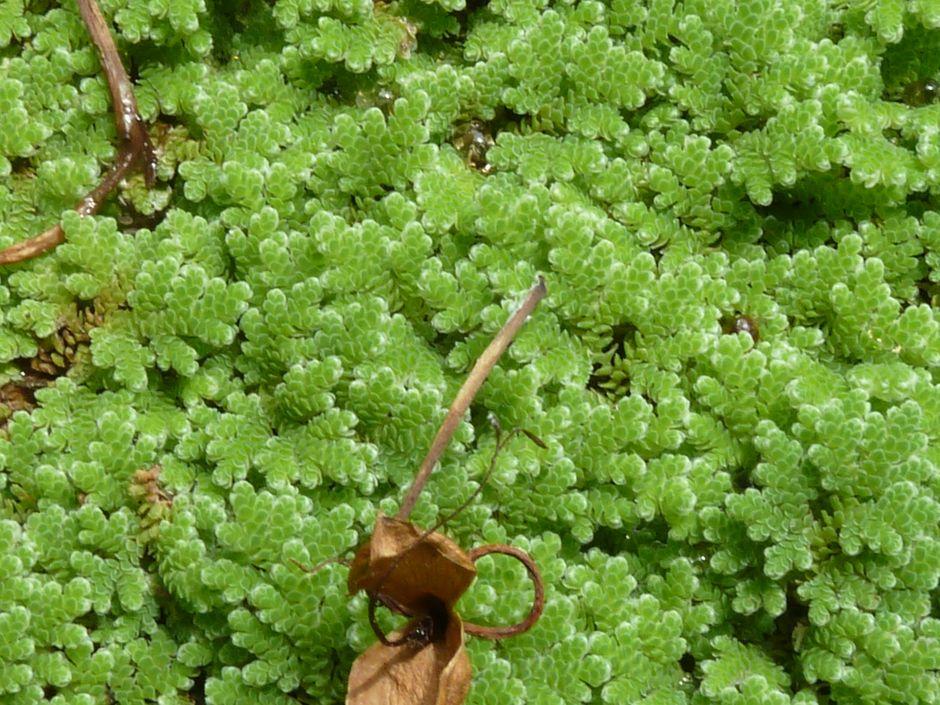 Азолла каролинская (Azolla caroliniana)