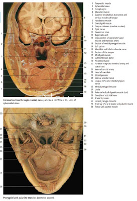 Anatomi Faring Pada Tubuh Manusia