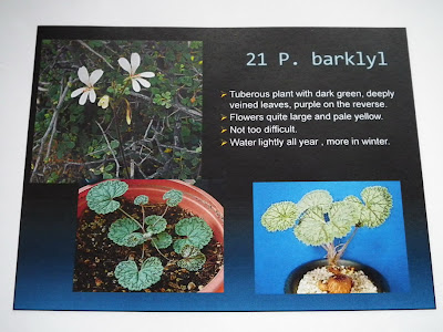 Pelargonium Barklyl description