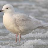 sub-adult Iceland Gull