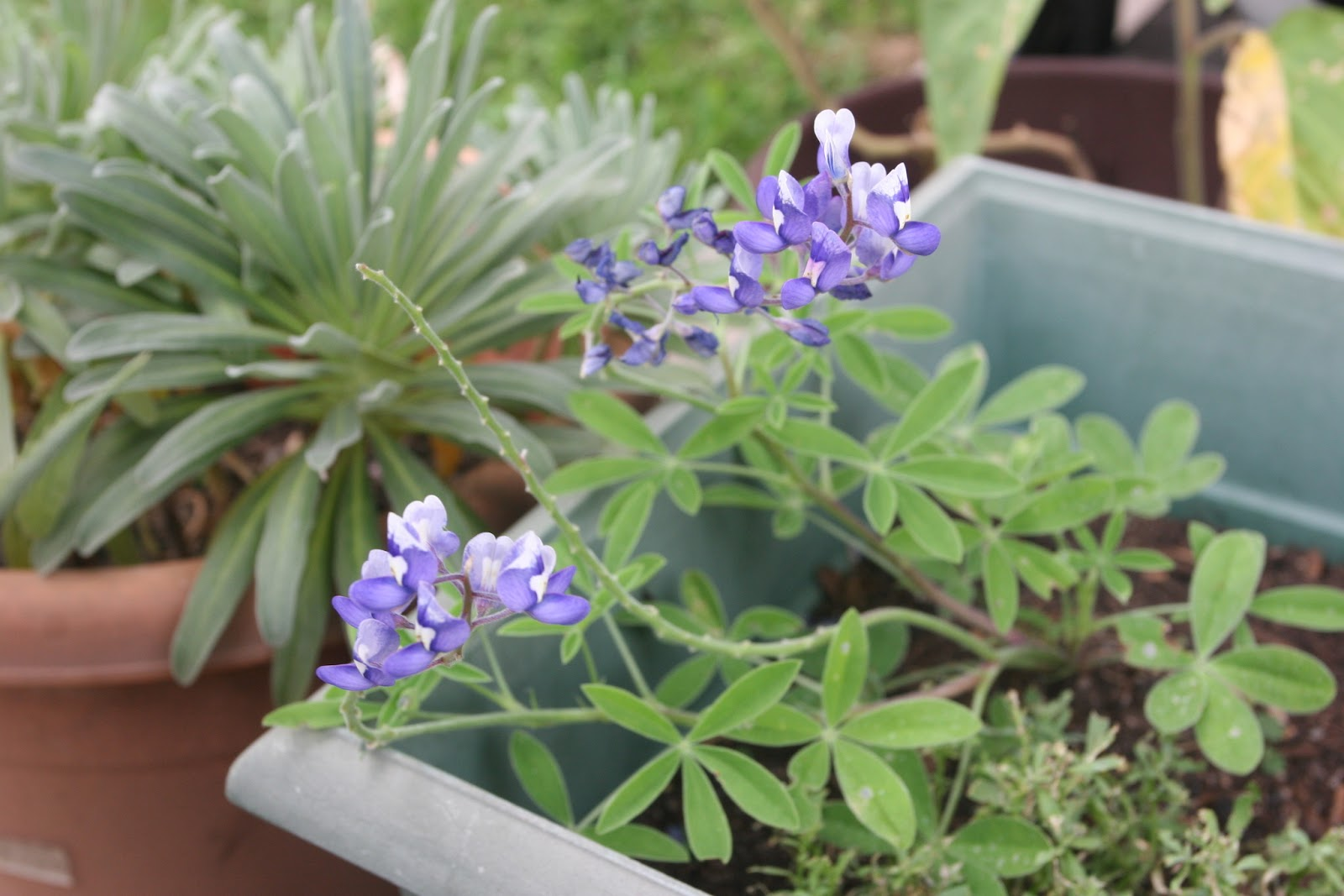 Gardening 2012 - IMG_3310.JPG