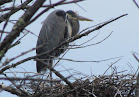 Heron Colony at Libby Hill-023.JPG