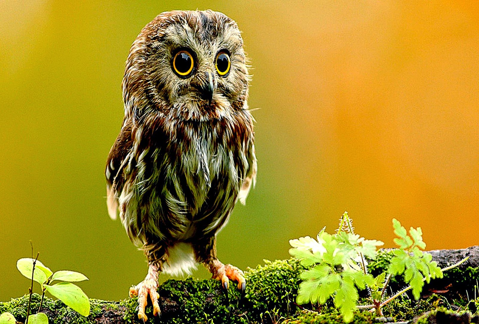 Amazing   Wallpaper Home Screen Owl - owl-wallpapers-and-backgrounds-w8themes-windows-8-themesnews  Pictures_74169.jpg