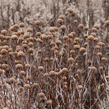 bergamot-seed-heads_MG_2572-copy.jpg
