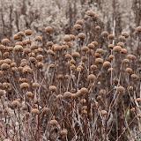 bergamot-seed-heads_MG_2572-copy.jpg