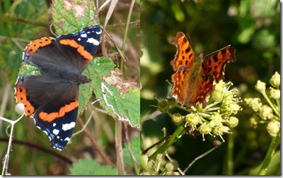 Red Admiral and Comma