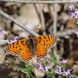 Melitaea didyma meridionalis Staudinger, 1870, mâle. Les Hautes-Courennes (500 m). Saint-Martin-de-Castillon (Vaucluse), 7 mai 2014. Photo : J.-M. Gayman