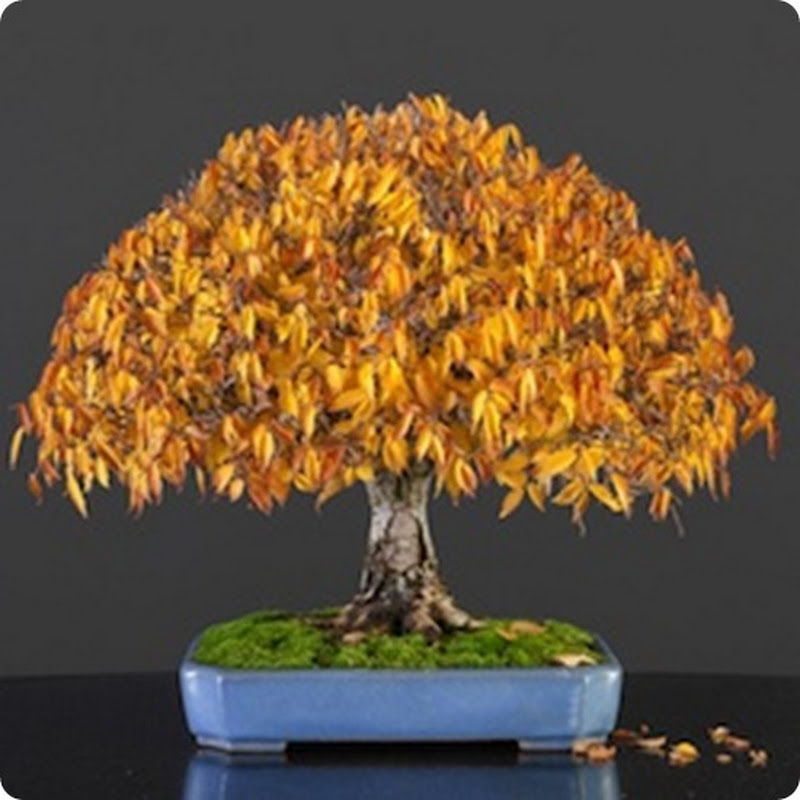 Bonsai Seasons: Spectacular Fall Colors.