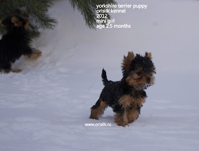 yorkshire terrier puppy OriSilk