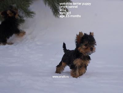 yorkshire terrier puppy OriSilk