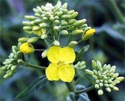 arabidopsis_little