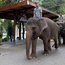 Perawatan Khusus Gajah Bunting Tua Di Gembira Loka