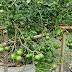 เก็บมะนาวดก รุ่น 4  รับฝนฉ่ำ สวนต้นรุ้ง เชียงราย Organic Way