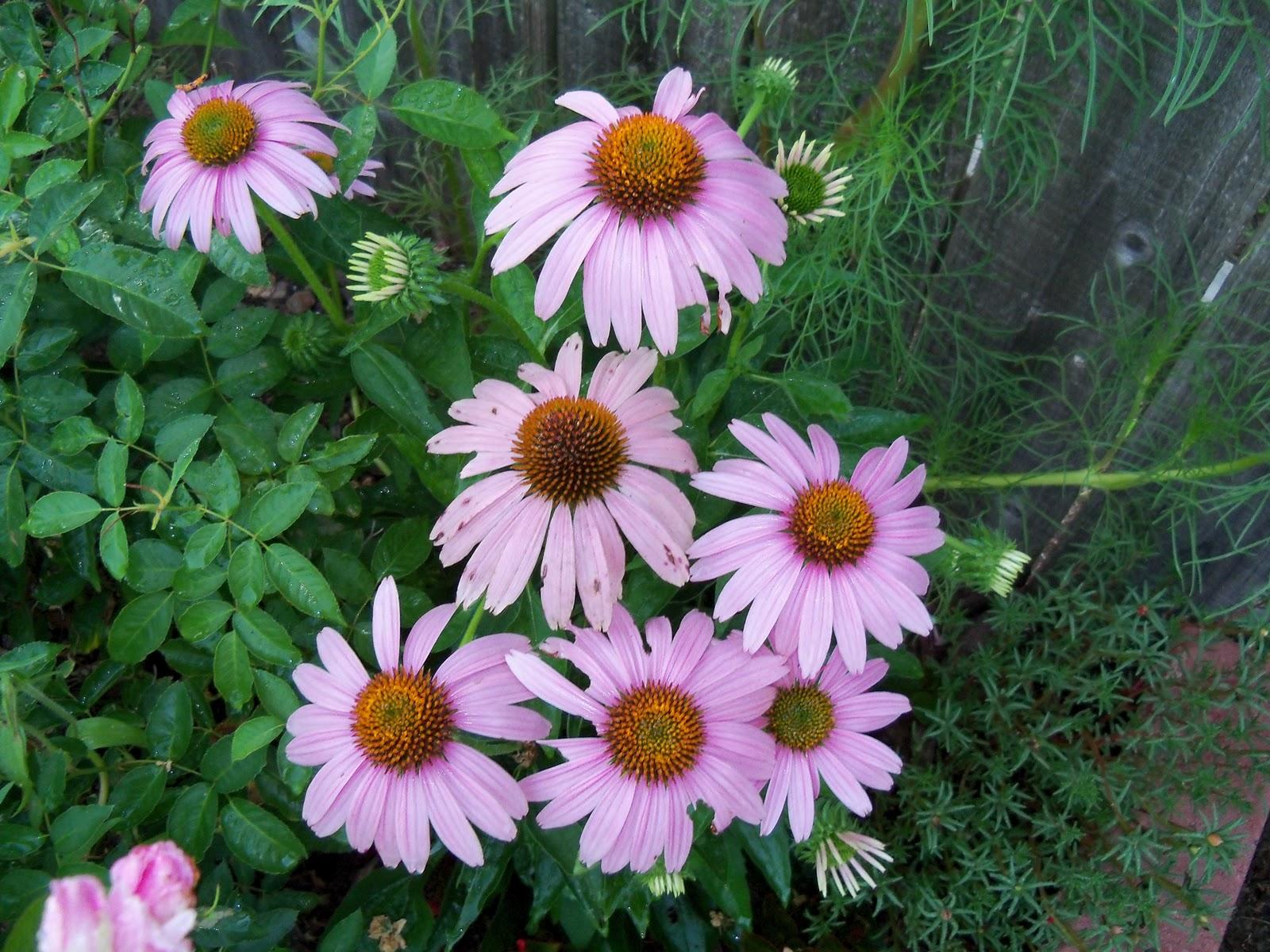 Gardening 2010, Part Three - 101_3978.JPG